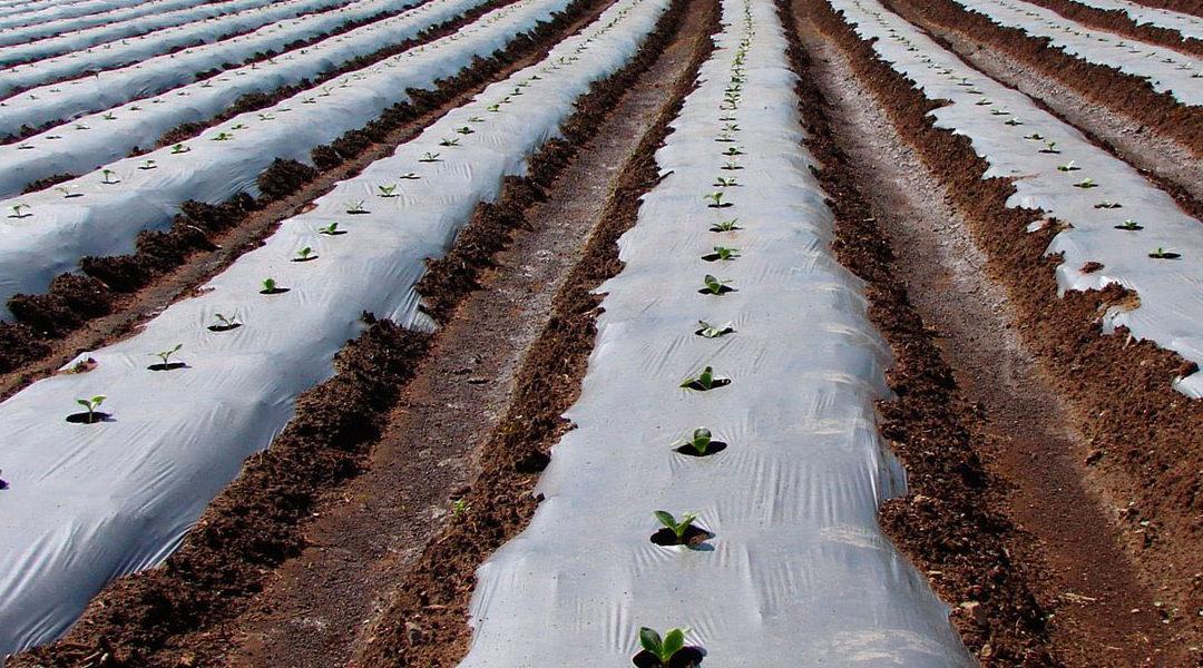 El acolchado de papel,  alternativa a los residuos plásticos agrícolas