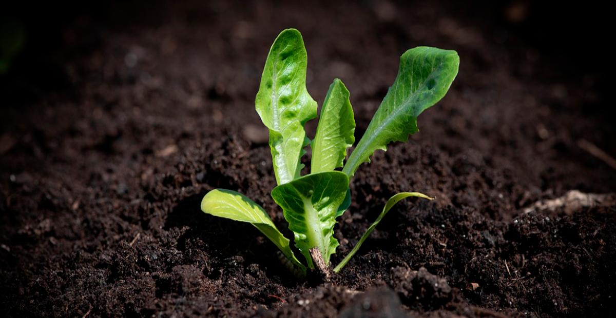 Plantula de lechuga