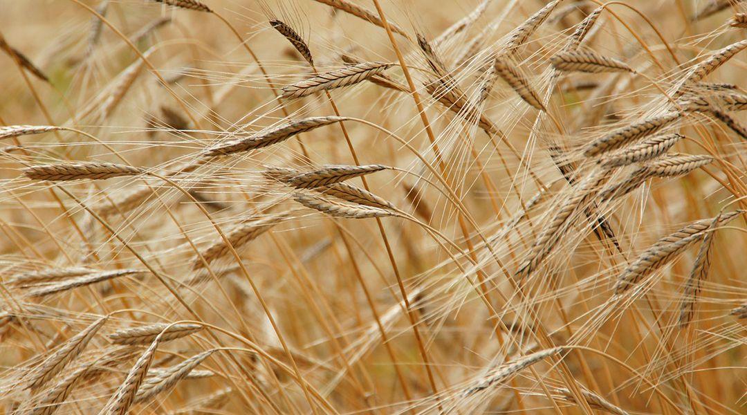 Cultivo trigo sostenible